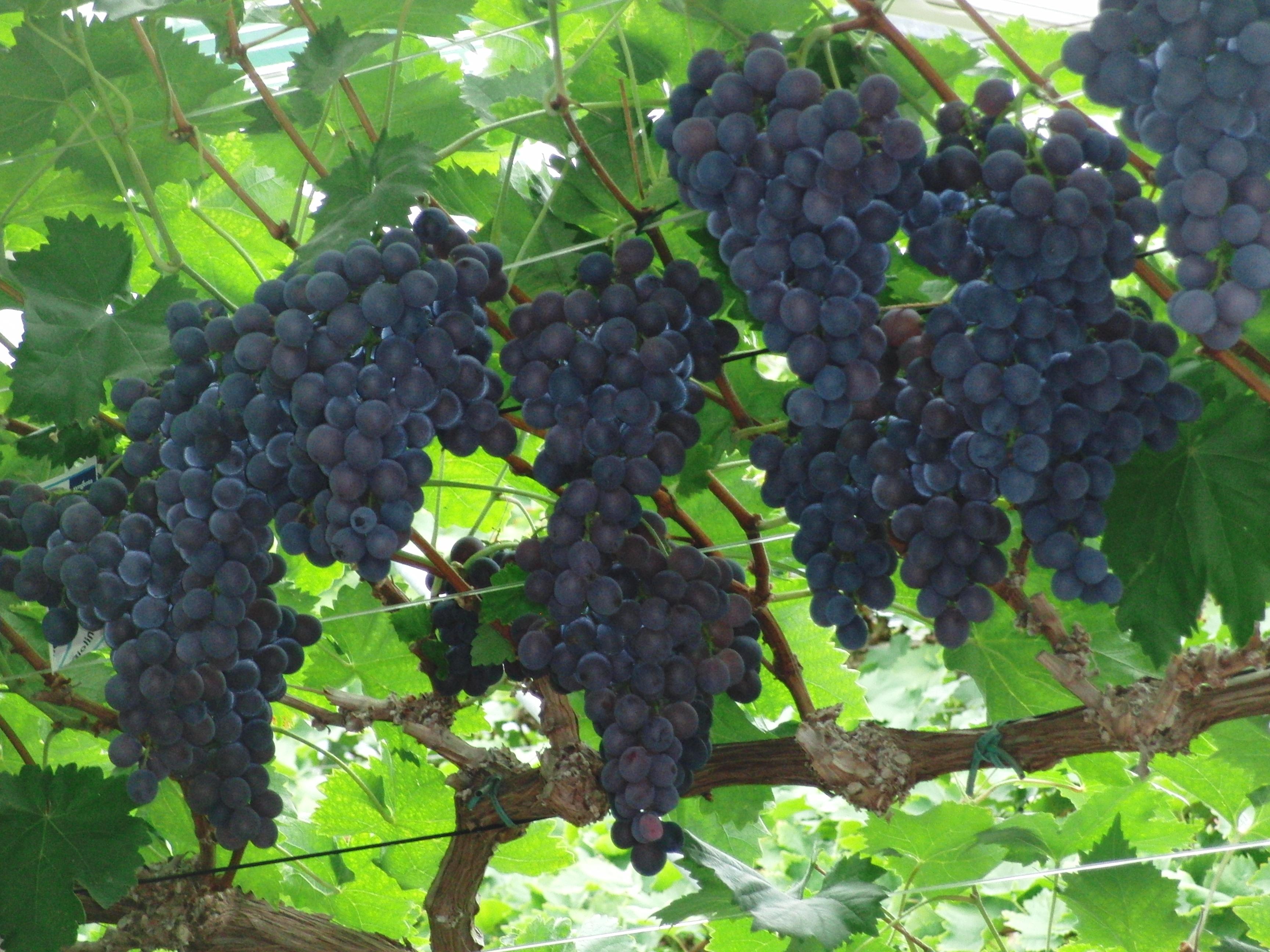 Druivenkwekerij Nieuw Tuinzigt